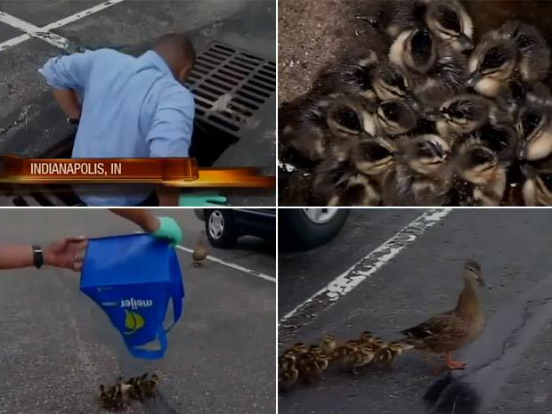 Daniel Miller entrou em tubulação de esgoto para salvar ninhada de patos. (Foto: Reprodução/WISH TV)