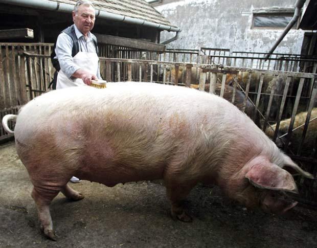Porca chamada 'Bela' pesa 560 quilos. (Foto: Ferenc Isza/AFP)