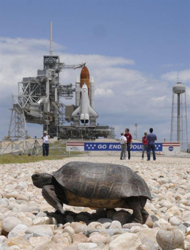 Tartaruga foi flagrada caminhando próximo à plataforma do Centro Espacial Kennedy. (Foto: Bruce Weaver/AFP)