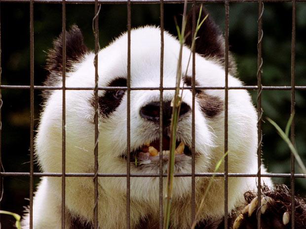Panda Ming Ming 1 (Foto: Dylan Martinez / Reuters)