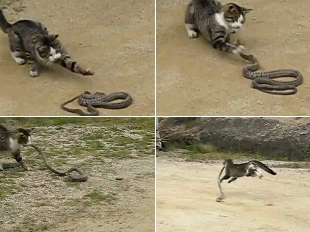 Vídeo que mostra luta entre gato e cobra faz sucesso na internet
