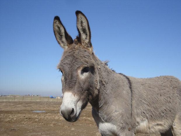 """O burro """"Smoke"""" em foto tirada ainda no Iraque pelo dono, o coronel aposentado John Folsom. (Foto: Reuters)"""