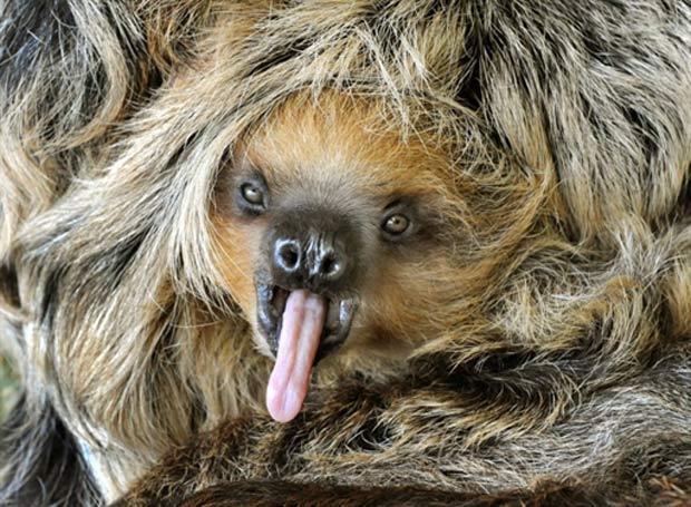 Filhote de preguiça faz 'careta' ao ser fotografado em zoo alemão