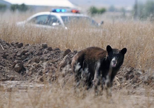 Urso foi perseguido pela polícia no Novo México. (Foto: Mark Wilson/Roswell Daily Record/AP)