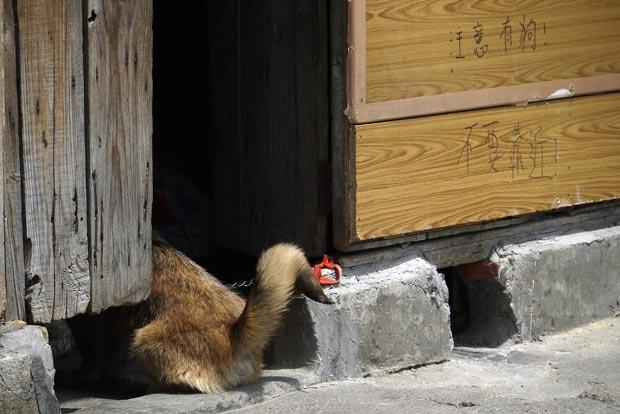 Um cachorro foi flagrado nesta quinta-feira (19) em Xangai, na China, escondido  ao lado de um aviso escrito à mão em mandarim que diz 'cuidado como cão, não se aproxime'.  (Foto: Eugene Hoshiko/AP)