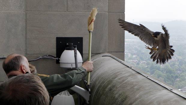 Agente se protege com uma vassoura de ataque de fêmea de falcão-peregrino. (Foto: Keith Srakocic/AP)