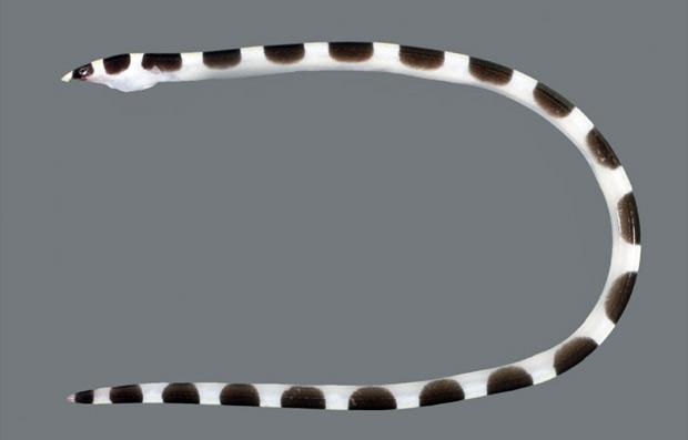 Enguia cobra selada (Foto: C. Struthers/Expedição Kermandec)