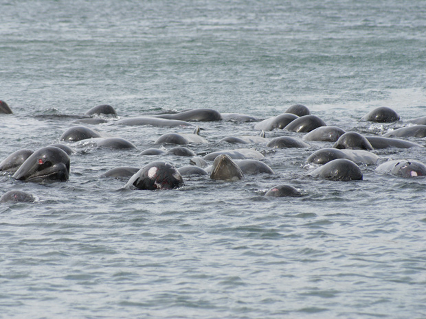 Baleia ferida é vista em meio a grupo no norte da Escócia (Foto: Sociedade para Prevenção da Crueldade contra Animais da Escócia)