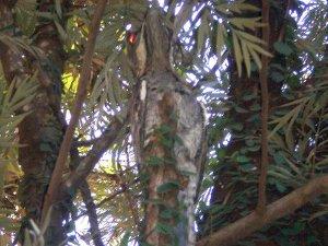 Pássaro camuflado urutau vira atração em seminário de Campo Grande (Foto: Rosalino de Jesus)