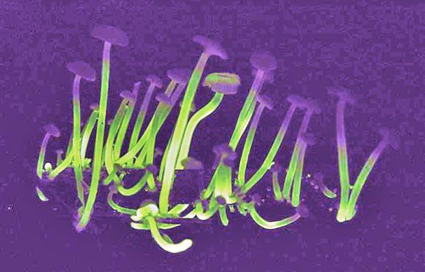 cogumelo fluorescentes (Foto: Cassius V. Stevani/IQ-USP/Divulgação)