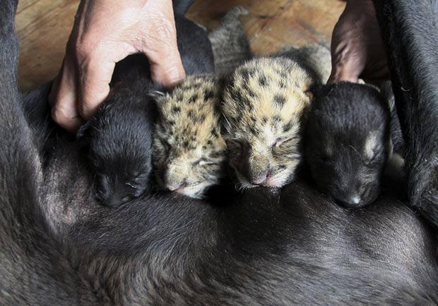 Filhotes de ligres foram abandonados pela mãe. (Foto: AP)