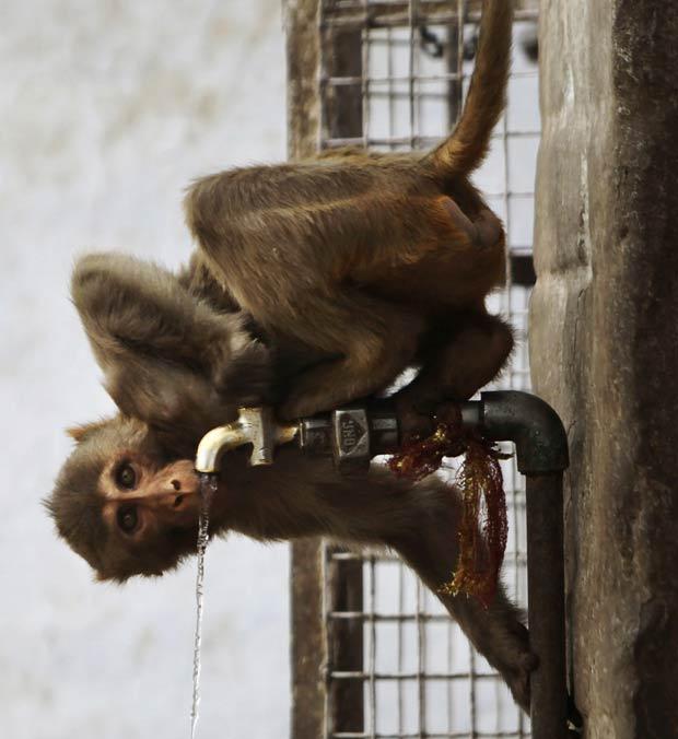 Macaco bebe água em uma torneira em Jammu. (Foto: Channi Anand/AP)