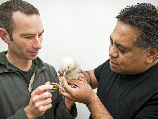 pesquisadores kiwi albino (Foto: Pukaha Mount Bruce National Wildlife Centre, Mike Heydon, Jet Productions / AP)