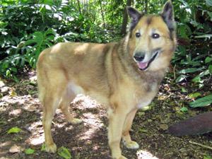 Cão da raça colie estará para adoção no CCZ (Foto: Divulgação/CCZ)