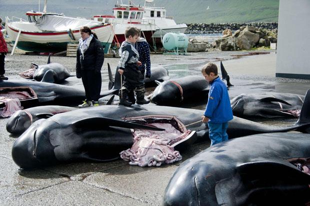 Uma tradição anual nas Ilhas Faroe, território pertencente à Dinamarca, promoveu neste sábado (28) uma matança recorde de baleias piloto. Foram 220 animais mortos, maior número já registrado durante a realização  do que é localmente considerado um evento. (Foto: Reuters)