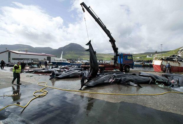 Guindaste é usado para carregar as baleias mortas. A carne de baleia-piloto já foi uma importante fonte de alimentação nas ilhas. Após a pesca, a carne não é comercializada, e sim distribuída na comunidade. (Foto: Reuters)