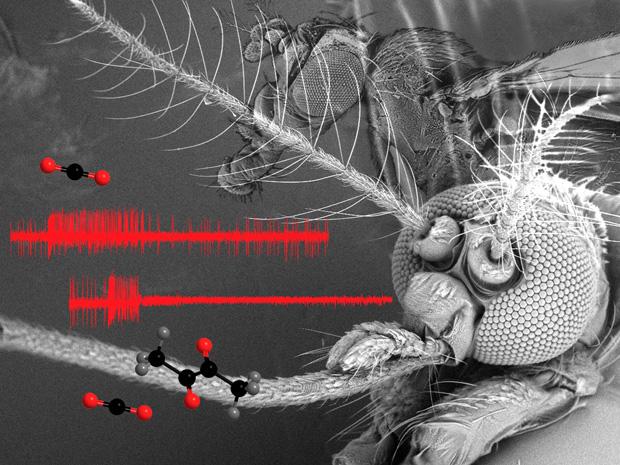 Órgãos olfatórios dos mosquitos interagem com o CO2 (Foto: Stephanie Turner / Divulgação)
