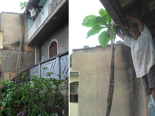 Pé de couve com 8,5 metros de altura é cultivado por motorista em Petrópolis (Foto: Arquivo Pessoal/Caio Baltar)
