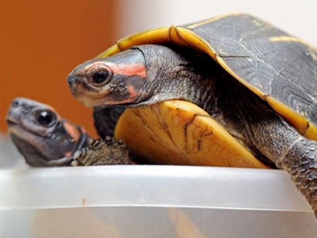 tartaruga 2 (Foto: Pornchai Kittiwongsakul/AFP)