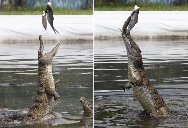 Crocodilo salta capturar 'almoço' em fazenda nas Filipinas. (Foto: Romeo Ranoco/Reuters)
