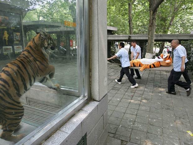 Funcionários passam perto da jaula de um tigre de verdade enquanto carregam o 'Tigrão' na simulação (Foto: Reuters)