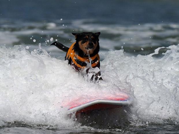 Cão pega onda durante torneio canino de surfe na Imperial Beach, próximo a San Diego, na Califórnia, neste sábado (4). (Foto: AFP)