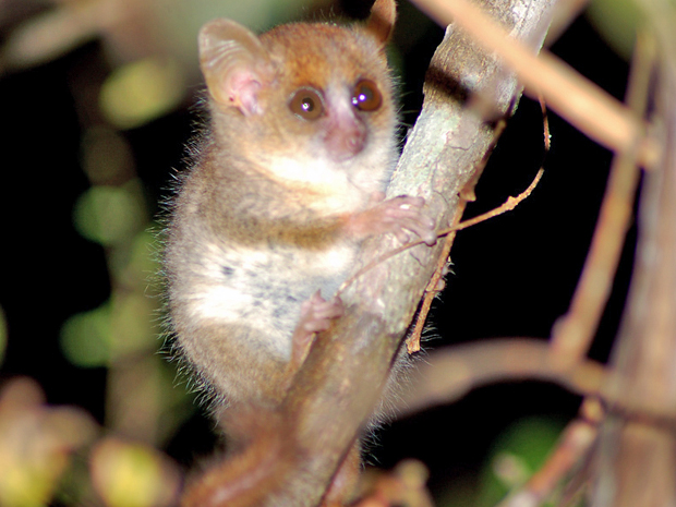 Lêmure rato de Berthe, espécime descoberta em 2000 na ilha de Madagascar, é considerada em extinção (Foto: WWF)