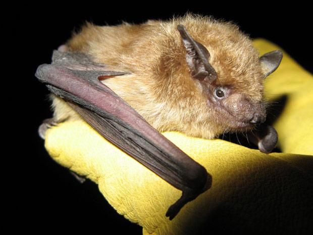Morcego raiva 1 (Foto: Dylan George / divulgação)