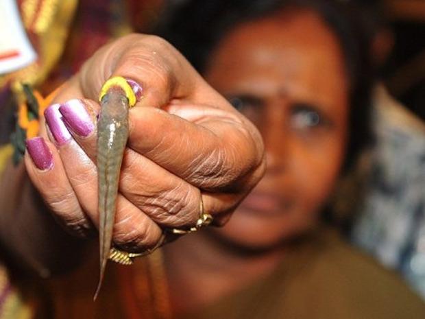 O medicamento, que é administrado aos pacientes dentro de um peixe vivo, é receitado pela família na cidade indiana há 160 anos como cura para asma e outras doenças respiratórias (Foto: Noah Seelam / AFP)