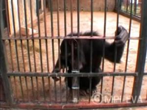 Chimpanzé enche o tubo de água para alcançar amendoim (Foto: BBC)