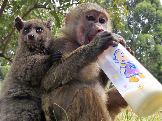 Filhote de galado (esquerda) adotou babuíno fêmea como mãe no orfanato animal de Nairóbi, no Quênia (Foto: Thomas Mukoya/Reuters)