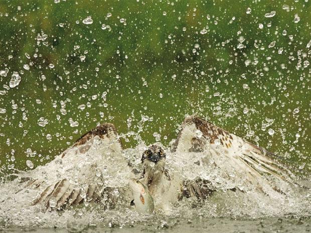 [ Matéria ] Foto de águia pescando vence concurso global de imagens da vida selvagem 620-465