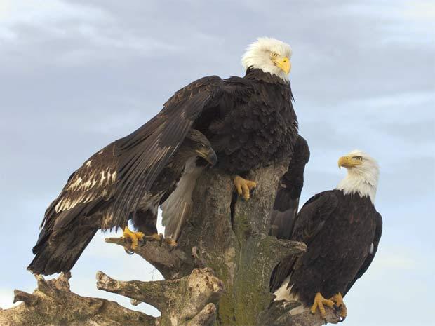 [ Matéria ] Foto de águia pescando vence concurso global de imagens da vida selvagem 620-465______