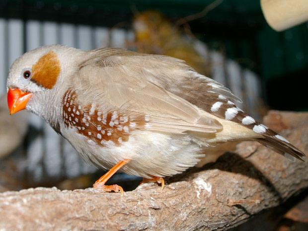 Pesquisa foi feita com pássaros mandarins na Alemanha. (Foto: Karen Hull / Flickr - Creative Commons 2.0 genérico)