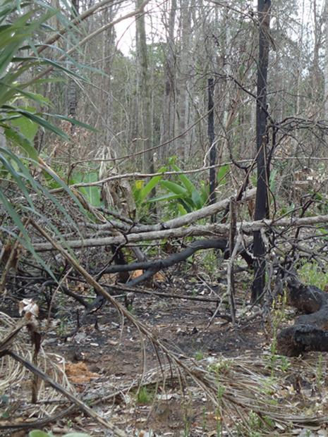 Área da floresta Amazônica atingida por queimada no Mato Grosso em 2011 (Foto: Divulgação/Ibama)