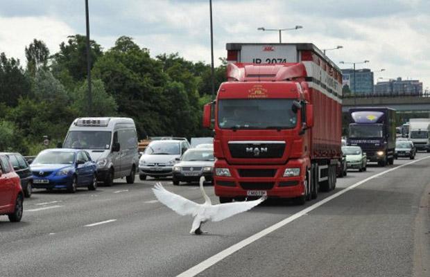 Cisne 'encara' caminhão na rodovia M4, no oeste de Londres, nesta quarta-feira (15), 'imitando' a famosa imagem da Praça da Paz Celestial, na China (Foto: AFP)