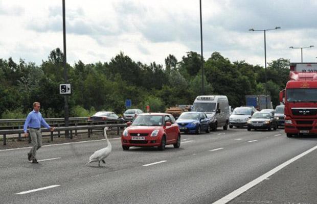 Um homem ajudou a conduzir a ave para fora da pista. (Foto: AFP)