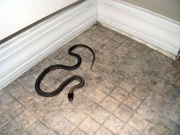 Uma das cobras encontradas pela família em uma casa de cinco quartos comprada em Idaho, nos EUA (Foto: AP)