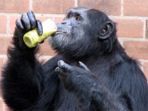 Sopa está no cardápio dos primatas para suportar o frio no Zoo do Rio (Foto: Esther Nazareth/Divulgação)