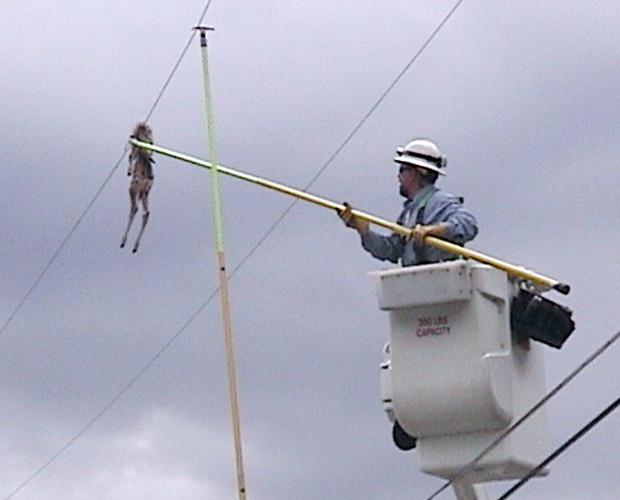 Funcionário de empresa de energia usa vara para tentar remover cadáver de filhote de veado que ficou preso em fio em 15 de junho. Suspeita-se que a carcaça foi parar já jogada por uma águia. O incidente ocorreu em East Missoula, no estado americano de Montana, e provocou um breve blecaute na região (Foto: AP)