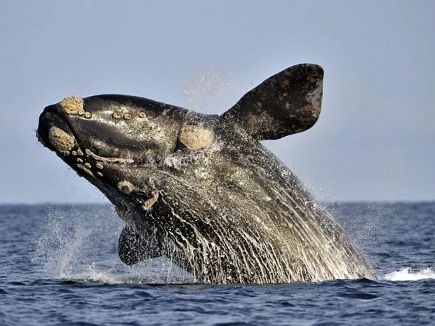Salto de baleia-franca-austral é registrado na reserva marinha do Golfo Nuevo, na Patagônia argentina. (Foto: Maxi Jones/Reuters)