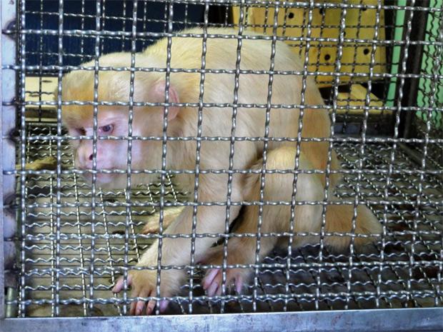 O animal apresenta sinais de maus-tratos e está magro por causa de alimentação inadequada. (Foto: Nelson Feitosa - Ibama/Divulgação)