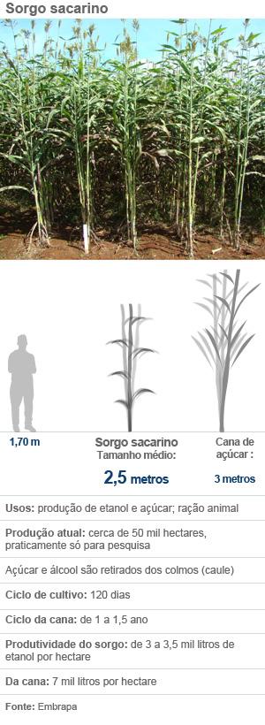 Sorgo sacarino (Foto: Arte G1)