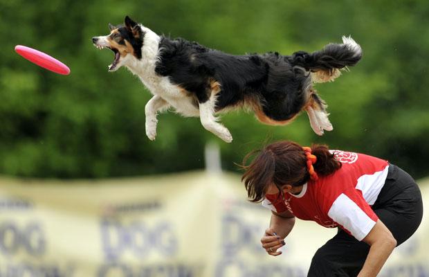 Um border collie pula para pegar o disco no campeonato 'Skyhoundz Disc Dog European Championship' (Foto: Bela Szandelszky/AP)