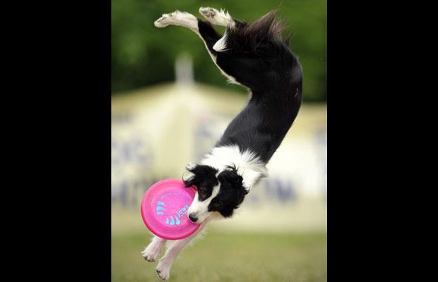 Border collie pula e se contorce para pegar o disco durante a competição (Foto: Bela Szandelszky/AP)