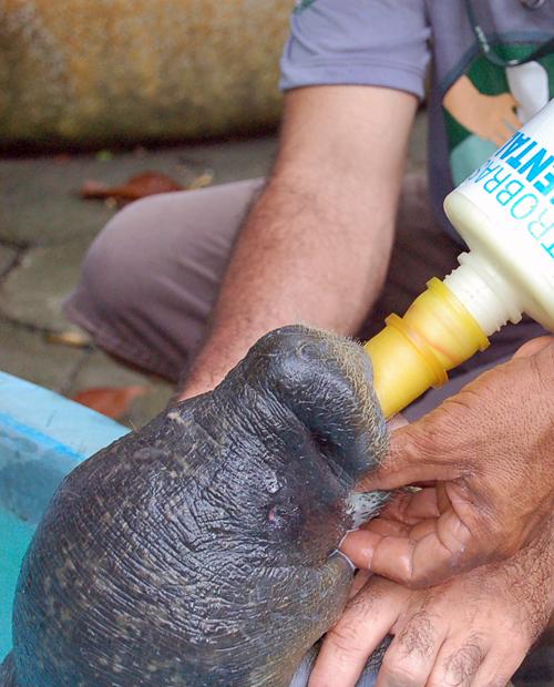 Filhote de peixe-boi é alimentado após chegar ao Inpa, em Manaus (AM) (Foto: Eduardo Gomes/Inpa)