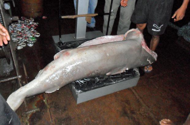 Tubarão pescado ilegalmente apreendido em abril no Pará. (Foto: Divulgação/Ibama)