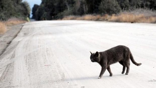 Gato caminha em estrada coberta de cinzas próximo a Osorno, no sul do Chile, nesta terça-feira (21) (Foto: AFP)