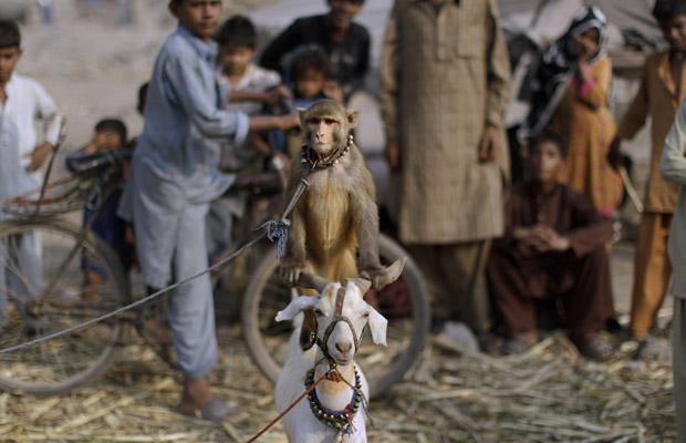 Paquistaneses observam macaco treinado sobre bode nesta quarta-feira (22) na cidade de Lahore. Moradores treinam animais para pedir dinheiro nas ruas na região. O flagrante foi do fotógrafo Muhammed Muheisen (Foto: AP)