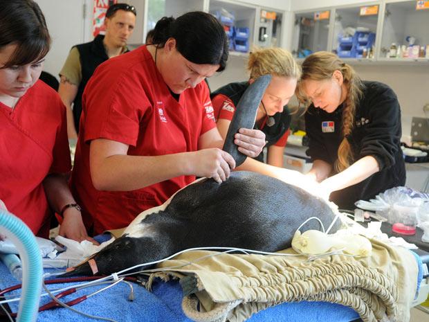 Happy Feet é submetido a operação em Wellington (Foto: AP)